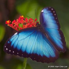 Blue Morpho (Morpho peleides), Costa Rica. Florida Museum of Natural History Lepidoptera Image Gallery, Alan Chin-Lee, photographer.