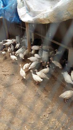 Turkeys Farming, Firewood, Turkey, Backyard, Woodburning, Patio, Turkey Country, Backyards