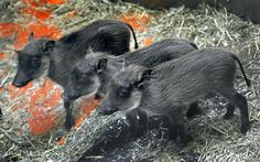Warthog piglets born at the Baltimore Zoo, MD
