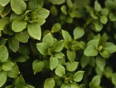 Image result for Common Chickweed