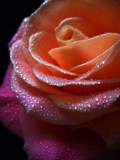 """Gentle Rose."" by Vitta |"