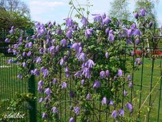 Image result for Clematis Maidwell Hall Clematis, Plants, Image, Plant, Planets