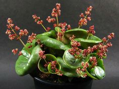 12 Weird Succulents that will BLOW your MIND - Good Plant Stuff Crassula Succulent, Echeveria, Succulent Plants, Cacti, Weird Plants, Cool Plants, Unusual Plants, Rare Succulents, Planting Succulents