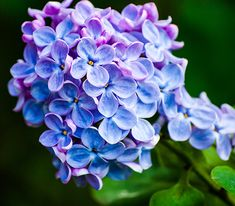 Lilac-syringa-vulgaris-CO2.jpg (519×454)