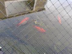 My pond (fish)