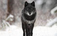 vlk - Hľadať Googlom