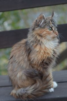 Mother Cat And Kittens Coloring Pages or Really Cute Animals Pictures while Cat Delivering Kittens. Maine Coon Cat Kittens For Sale In Nh Cute Cats And Kittens, I Love Cats, Crazy Cats, Cool Cats, Kittens Cutest, Funny Kittens, Ragdoll Kittens, Tabby Cats, Bengal Cats