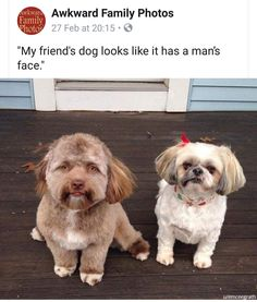 This Adorable Shih-tzu Dog Has a 'Human Face' And We Don't Know What To Think About It - World's largest collection of cat memes and other animals Perro Shih Tzu, Shih Tzu Hund, Shih Tzu Puppy, Shih Tzus, Shih Poo, Funny Animal Pictures, Funny Animals, Cute Animals, Funny Dogs