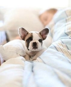 cutest little frenchie.