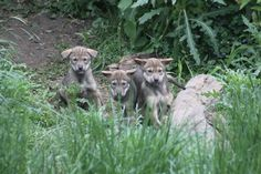 Red wolf pups born April 14th at Niabi Zoo, a Red Wolf Species Survival Plan participant. Photo credit theirs.