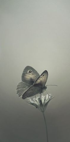 Color Gris - Grey!!! Butterfly