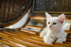 Cute Kitten - persian kitten <3
