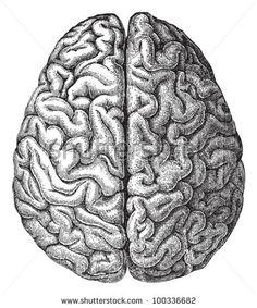 Human brain / vintage illustration from Meyers Konversations-Lexikon 1897 - stock vector