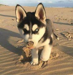 Wonderful All About The Siberian Husky Ideas. Prodigious All About The Siberian Husky Ideas. Cute Husky Puppies, Rottweiler Puppies, Husky Puppy, Huskies Puppies, Baby Huskies, Husky Mix, Rottweiler Names, Dalmatian Puppies, Labrador Husky