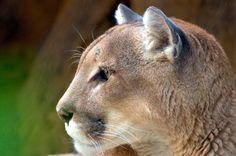 Mountain Lion  #animal #mountain #lion