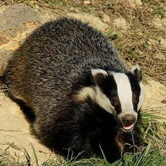 Tweet Your Voice, Save a Badger! http://www.isfoundation.com/news/tweet-your-voice-save-badger