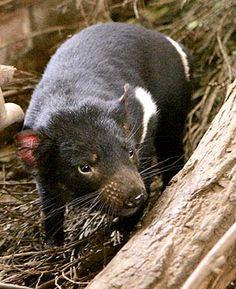 diabo da tasmania - Pesquisa Google