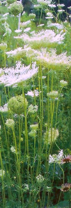 cow parsley/Queen Anne's lace/ wild carrots (second year--can achieve same by leaving garden carrots in ground for 2 yrs).