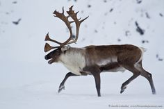 All sizes   Migrating Caribou   Flickr - Photo Sharing!