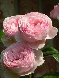 English Rose Geoff Hamilton-for planting into the Terrace Garden.