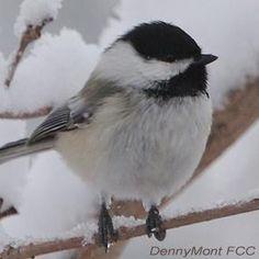 Chickadee Brains Are Bigger in the Cold | BirdNote - 09nov2015