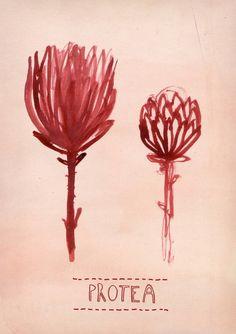 New Protea print. Plant Illustration, Graphic Design Illustration, Botanical Illustration, Protea Art, Art Floral, Fauna, Botanical Art, Painting Inspiration, Flower Art