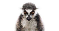 Lemur catta Photo : Morten Koldby