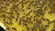 Cornish Black honey bee 'could help save species from killer disease'. BBC