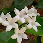 Stephanotis Floribunda Conservatory Plant Click Image To Add Your Plants List And
