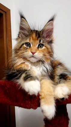 Zo mooi http://www.mainecoonguide.com/characteristics/
