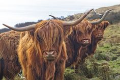 Highland Cow Trio. Isle of Skye. Scotland.