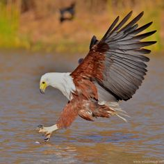 Photograph African Fish Eagle by Matthew Elliott on 500px