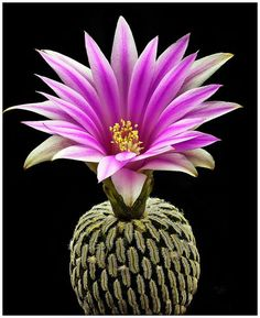 """Turbinicarpus Pseudopectinatus Flower - """"Turbinicarpus pseudopectinatus is a species of plant in the Cactaceae family. It is endemic to Mexico. Its natural habitats are temperate forests and hot deserts."""""""