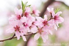 桃の花 - Google 検索