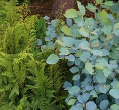 Fothergilla gardenii 'Blue Shadow' 11