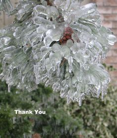 Ice Storm captures Pine Tree Ice Storm, Toronto, Flowers, Plants, Floral, Plant, Royal Icing Flowers, Florals, Flower