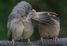 The Comedy Wildlife Photography awards- The jungle babbler is a member of the Leiothrichidae family found in the Indian subcontinent. They are gregarious birds that forage in small groups of six to 10, a habit that has given them the popular name of seven sisters or Saath bhai in Bengali. The picture was taken in Bharatpur, Rajasthan. Photograph: Comedy Wildlife Photography Awards/Barcroft Images