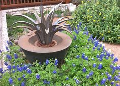 Inspiration for landscaping? The iron cactus and bluebonnets growing wild Plants, Succulents, Lantana, Growing, Master Gardener, Large Plants, Cactus And Succulents, Live Plants, Landscape