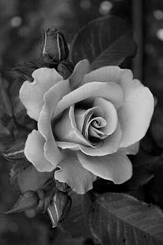 Rosas Tatto Rose Drawing Tattoo, Realistic Rose Tattoo, Black And White Roses, Grey Roses, Rose Tattoos, Flower Tattoos, Beautiful Roses, Beautiful Flowers, Rose Reference