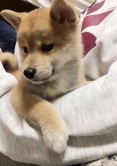 As soft as this shiba pup Cute Dogs And Puppies, Baby Puppies, Baby Dogs, Doggies, Shiba Puppy, Akita Dog, Shiba Inu Puppies, Corgi Husky, Husky Mix
