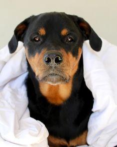 German Rottweiler, Beautiful Rabbit, Basset Hound, Keep Warm, Snuggles, Animal Photography, Jun, Dog Lovers, Kitten