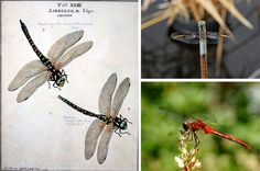Dragonflies are magnificent aerialists, able to hover, dive, fly backward and upside down, pivot 360 degrees with three tiny wing beats, and reach speeds of 30 miles per hour. They catch their prey in midair 95% of the time and don't bother to alight before eating.