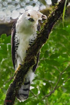 Ornate Hawk-Eagle (Spizaetus ornatus), Upala, Costa Rica