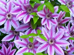 Clematis for the privacy fence