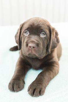 Expert tips on photographing puppies. Pro photographers share how to capture the perfect puppy photos at home - fuss free and budget friendly. Puppy Care, Pet Puppy, Pet Care, Cute Puppies, Dogs And Puppies, Doggies, Chocolate Lab Puppies, Chocolate Labs, Emoji