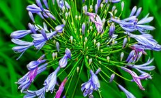 Agapanthus by William Roberts on 500px