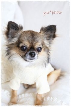 Effective Potty Training Chihuahua Consistency Is Key Ideas. Brilliant Potty Training Chihuahua Consistency Is Key Ideas. Chihuahua Puppies, Cute Puppies, Cute Dogs, Dogs And Puppies, Doggies, Tier Fotos, Little Dogs, Dog Life, I Love Dogs