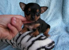 A double aawww for this little chi.
