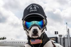 He wears very cool reflective goggles to protect his eyes on the job. | Meet Piper The Very Cool Dog Who Works To Keep Airport Runways Safe