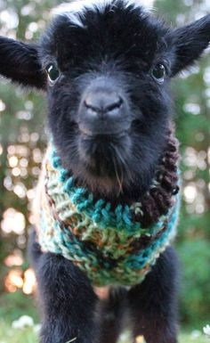 PIN IT if you think this is cute! Stop Everything And Look At This Baby Goat in Tiny Sweater